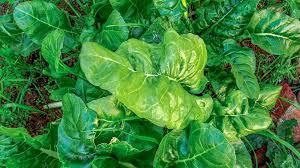 hormones leafy greens